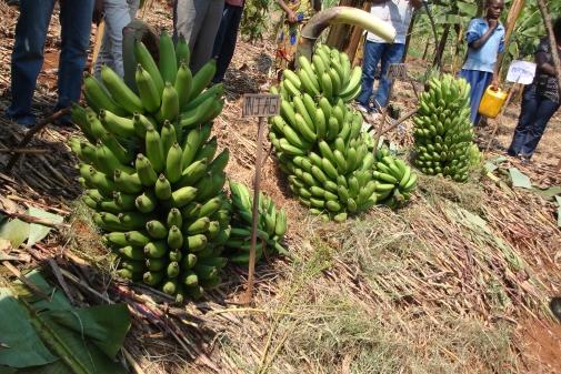 conférence banane_505