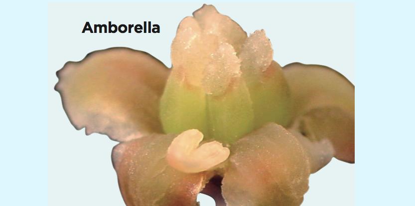6978157-amborella-le-chainon-manquant-de-l-evolution-des-plantes-a-fleurs